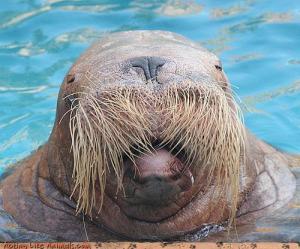 Funny-walrus-close-up