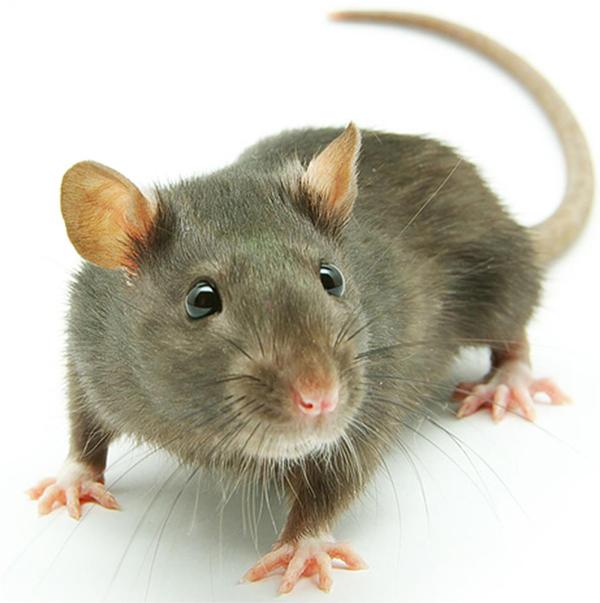 Rats-1